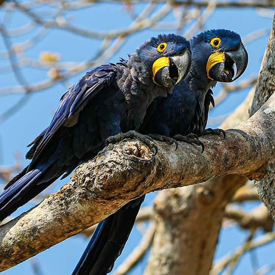 Duas araras azul em cima de um tronco de árvore